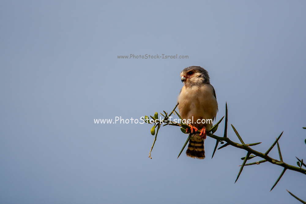 African pygmy falcon (Polihierax semitorquatus) perched on a thorn tree. This is the smallest raptor found on the African continent. It is found in eastern and southern Africa. This falcon preys on insects, small reptiles, and small mammals.