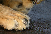 The right front paw of an African Lion.