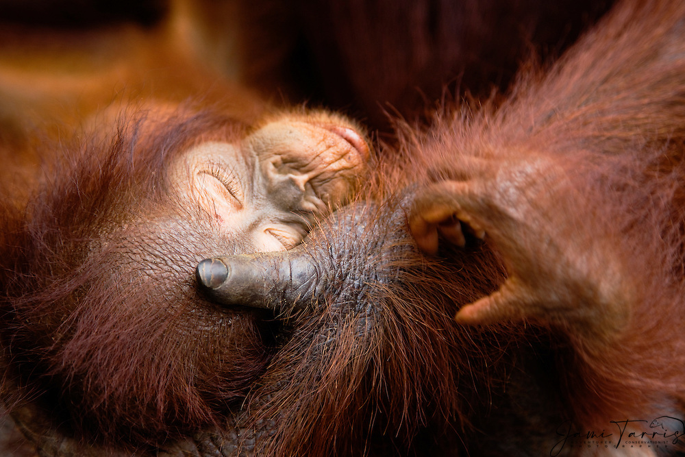 A sleeping infant orangutan (Pongo pygmaeus) close-up as he lays in his mother's large hand, Borneo, Indonesia