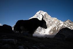 """THEMENBILD - Yak vor dem 6000er Cholatse (6.440 m). Wanderung im Sagarmatha National Park in Nepal, in dem sich auch sein Namensgeber, der Mount Everest, befinden. In Nepali heißt der Everest Sagarmatha, was übersetzt """"Stirn des Himmels"""" bedeutet. Die Wanderung führte von Lukla über Namche Bazar und Gokyo bis ins Everest Base Camp und zum Gipfel des 6189m hohen Island Peak. Aufgenommen am 17.05.2018 in Nepal // Trekkingtour in the Sagarmatha National Park. Nepal on 2018/05/17. EXPA Pictures © 2018, PhotoCredit: EXPA/ Michael Gruber"""