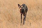 African wild dog, Lycaon pictus, walking in the tall grass