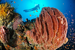 Xestospongia testudinaria, Taucher am bunten Korallenriff mit Weichkorallen und Tonnenschwamm, scuba diver with colorful coral reef and soft corals and barrel sponge,  Bali, Turlamben, Indonesien, Indopazifik, Bali, Indonesia Asien, Indo-Pacific Ocean, Asia