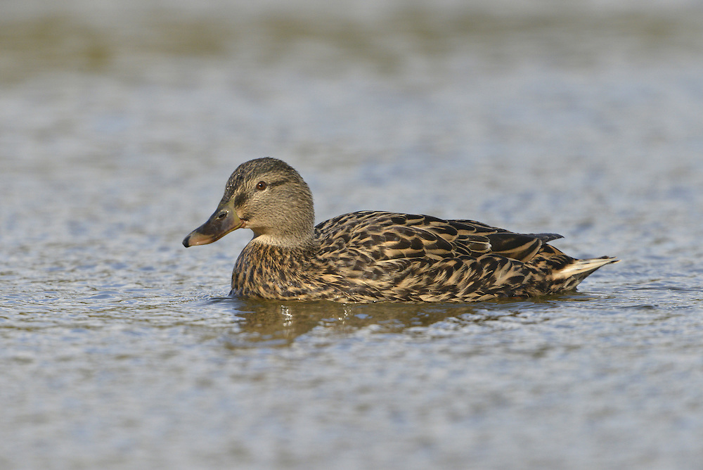 Mallard Anas platyrhynchos - female. L 50-65cm. Our most familiar duck. In flight, both sexes show white-bordered blue speculum. Sexes are dissimilar. Adult male has yellow bill and green, shiny head and upper neck, separated from chestnut breast by striking white collar. Underparts are grey-brown except for black stern and white tail. Back is grey-brown grading to reddish brown. Legs and feet are orange. In eclipse, male resembles adult female but note yellow bill and well-defined reddish brown breast. Adult female has orange-brown bill and mottled brown plumage. Legs and feet are dull orange-yellow. Juvenile is similar to adult female. Voice Male utters whistles and nasal calls. Female utters familiar quack. Status Widespread, commonest on lowland lakes, rivers and urban ornamental lakes.