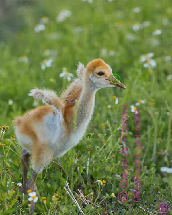 Sandhill crane downy chick (colt) stretches tiny wings, Florida, © David A. Ponton