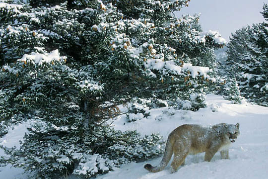 Mountain Lion or Cougar, (Felis concolor) Adult in foothills of Rocky mountains. Montana. Winter. Captive Animal.