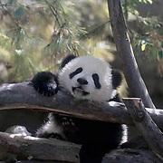 Giant Panda, (Ailuropoda melanoleuca) Baby at San Diego Zoo. California.  Captive Animal.