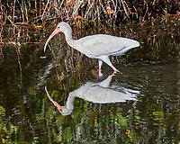 White Ibis (Eudocimus albus). Black Point Wildlife Drive, Merritt Island Wildlife Refuge. Merritt Island, Brevard County, Florida. Image taken with a Nikon D3x camera and 300 mm f/2.8 VR lens.