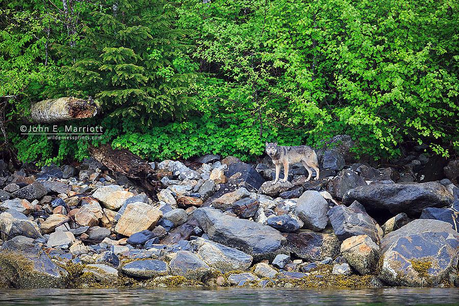 Wild gray coastal wolf in British Columbia, Canada