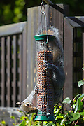 Grey Squirrel, Sciurus carolinensis, solves challenge hanging upside down while feeding on peanuts in a garden bird nut feeder