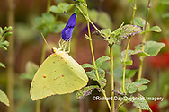 03091-00812 Cloudless Sulphur (Phoebis sennae) at Blue Ensign Salvia (Salvia guaranitica ' Blue Ensign') in Marion County, IL