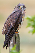 A hawk sits on fence post in pouring rain in central Montana.