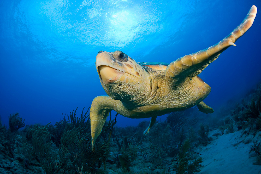 Loggerhead Sea Turtle, Caretta caretta, swims over a coral reef in Palm Beach County, Florida, United States