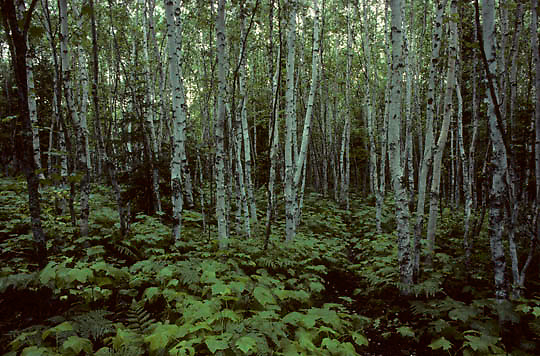Isle Royale National Park, birch grove and dense under brush surround Minong Trail. Michigan.