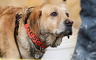 Nexus the rescue dog waits to go into the decontamination area at the mudslide after searching for victims in Oso, Washington March 30, 2014. Local churches offered prayers on Sunday for the victims of last week's devastating mudslide in Washington state and words of solace for grieving families and friends, many of whom are still waiting for news of missing loved ones.  REUTERS/Rick Wilking (UNITED STATES)