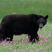 Black Bear, (Ursus americanus) Adult in field of Shooting Star flowers. Spring. Montana. Captive Animal.