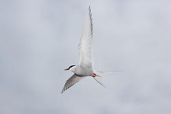 Arctic Tern (Sterna paradisaea) in Svalbard