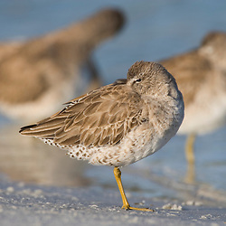 A short-billed dowitcher, Limnodromus griseus, rests on North Beach at Fort De Soto Park in Pinellas County, Florida.