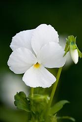 Viola cornuta Alba Group AGM