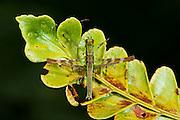 Airplane Grasshopper (fam. Eumastacidae)<br /> Yasuni National Park, Amazon Rainforest<br /> ECUADOR. South America
