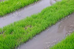 junge Reispflanzen in geflutetem Reisfeld, joung Rice growing in flooded rice fields, Bali, Indonesien, Indonesia Asien, Asia