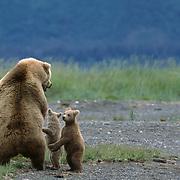 Alaska brown bear (Ursus middendorffi) mother standing with two young cubs. Alaska Peninsula, Alaska