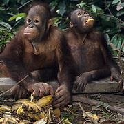 Orangutan, (Pongo pygmaeus) Juvenile eating bananas in nursery at Sepilok Forest Rehabilitaion Center. Borneo. Malaysia. Controlled Conditons.