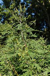 Alsem ambrosia, Ambrosia artemisiifolia