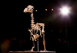 UPDATE: Dodo skeleton sold for £280,000 today © Licensed to London News Pictures. 17/11/2016. Billingshurst, UK.  A rare dodo skeleton is displayed at Summers Place Auctions ahead of it's sale at their 'Evolution' Auction taking place on November 22, 2016.   Photo credit: Peter Macdiarmid/LNP