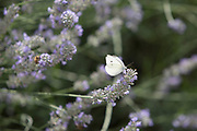 A Small White butterfly (Pieris rapae) visits a lavender plant in a suburban garden south London, on 7th August 2019, in London, England.