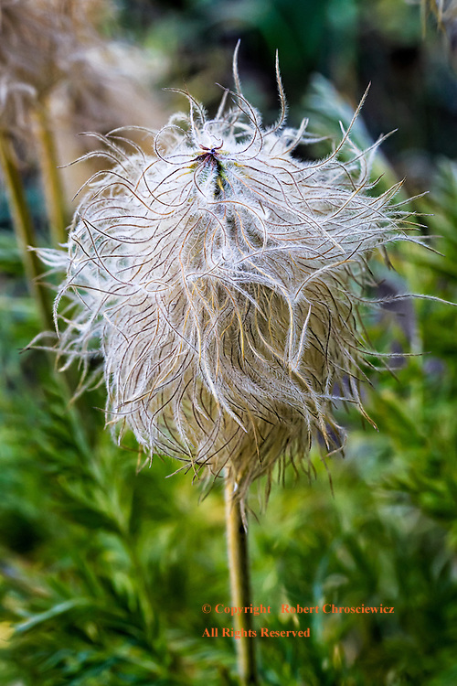 Sub-Alpine Seed: A close-up of a plant gone to seed on Mount Rainer, Mount Rainer National Park, Washington USA.
