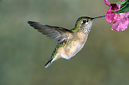 Calliope Hummingbird - Selasphorus calliope - Female