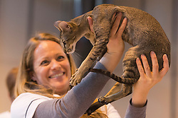 © Licensed to London News Pictures. 23/11/2013. London, England. A stewart holds up an oriental black-ticked tabby kitten, 7 months, during the judging process. The 37th Supreme Cat Show takes place at the National Exhibition Centre in Birmingham, UK. Photo credit: Bettina Strenske/LNP