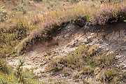 Heath potter wasp (Eumenes coarctatus)  'quarry' location on heathland. Dorset, UK.