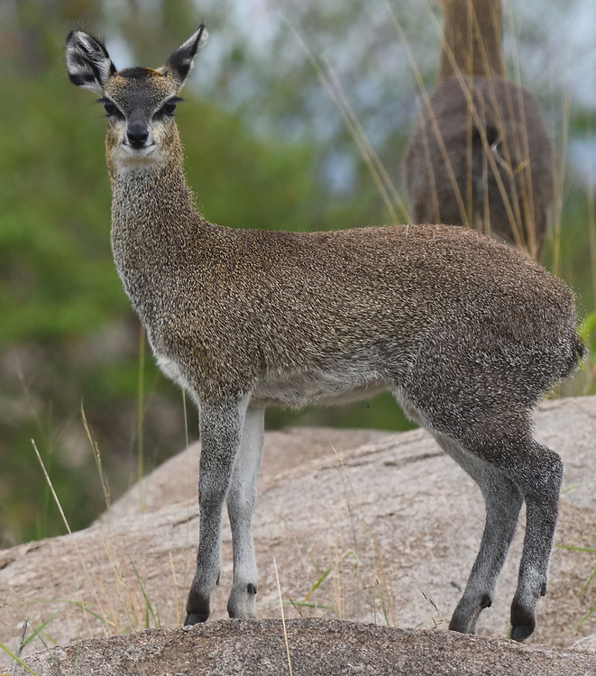 A female klipspringer (Oreotragus oreotragus) in a typical pose on a rocky outcrop, a kopje.  Klipspringers have evolved to walk on the tips of their hooves so they can run up steep rocks, taking advantage of tiny crevices. Serengeti National Park, Tanzania.