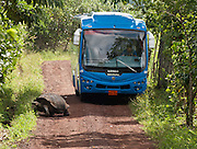 A bus stops for a Galápagos giant tortoise (Geochelone elephantopus; or Geochelone nigra) on Rancho Primicias next to El Chato Tortoise Reserve, in the highlands near Puerto Ayora on Santa Cruz Island, Galápagos archipelago, Ecuador, South America. This species is the largest living tortoise and is native to seven islands of the Galápagos archipelago. Fully grown adults can weigh over 300 kilograms (661 lb) and measure 1.5 meters (5 feet) over the curve of the shell. They are long-lived with a life expectancy of up to 100-150 years in the wild. Populations fell dramatically because of hunting and the introduction of predators and grazers by humans since the 1600s. Only ten subspecies of the original twelve exist in the wild. Since Galápagos National Park and the Charles Darwin Foundation were established, hundreds of captive-bred juveniles have been released back onto their home islands.