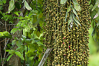 Fruits hang from a fruiting palm tree in a rain forest in Halmahera, Indonesia.