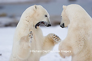 01874-106.18 Polar Bears (Ursus maritimus) sparring, Churchill, MB