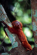 The Golden Lion Tamarin's life in the canopy of the rainforest requires careful attention to all directions. | Ihr Leben im Geäst der Urwaldbäume verlangt von den Löwenäffchen höchste Wachsamkeit in alle Richtungen.
