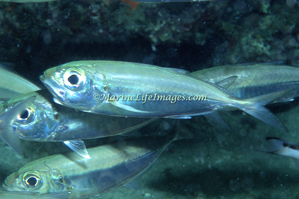 Bigeye Scad inhabit open water in Tropical West Atlantic, also circumtropical. Picture taken Palm Beach, FL.