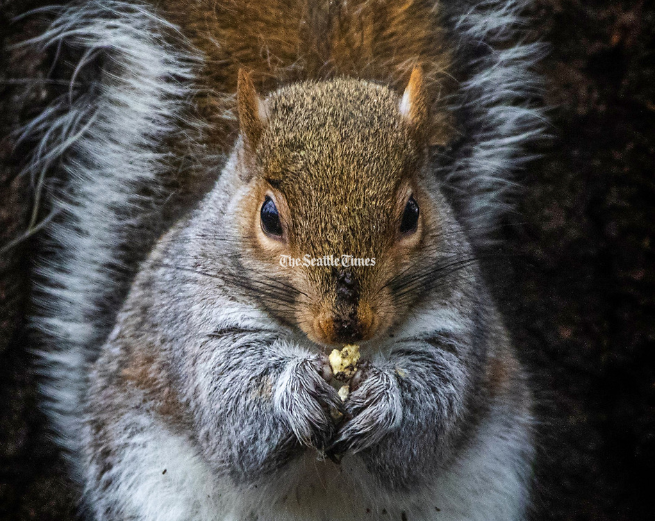 A squirrel focuses on a snack at Volunteer Park in Seattle. Rain is predicted until a lull mid-week and then picking back up again for the foreseeable future. (Ellen M. Banner / The Seattle Times)