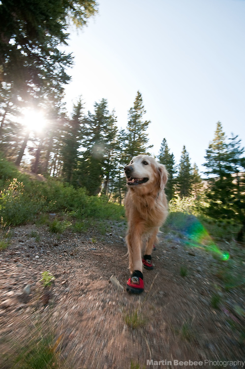 A golden retriever hikes with dog booties in the Eastern Sierra Nevada, Toiyabe National Forest, California