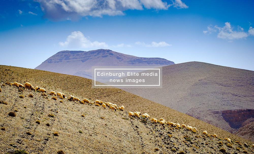 A flock of sheep graze the hills beside the piste from Tamtetoucht to Msemrir, Morocco<br /> <br /> (c) Andrew Wilson | Edinburgh Elite media