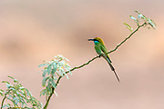 Little green bee-eater (Merops orientalis) from Rajasthan, India.