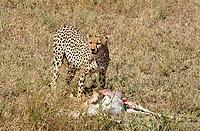 A Cheetah, Acinonyx jubatus jubatus, stands over a Thomson's Gazelle, Eudorcas thomsonii, that it has killed in Serengeti National Park, Tanzania