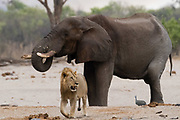 A male lion, Panthera leo, walking away from an African elephant, Loxodonta africana, drinking at waterhole.