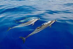pantropical spotted dolphins spouting, Stenella attenuata, Kona Coast, Big Island, Hawaii, USA, Pacific Ocean