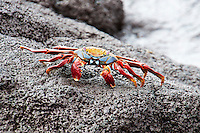 Animals, crab.<br />