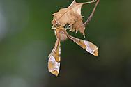 Purple Thorn - Selenia tetralunaria