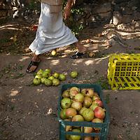 Pomegranate harvest in the lush orchards of Jabal Akhdar.