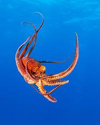 day octopus, or big blue octopus, Octopus cyanea, Kohala Coast, Big Island, Hawaii, USA, Pacific Ocean